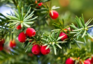 yew plant badge fraser