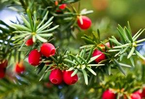 yew plant badge fraser