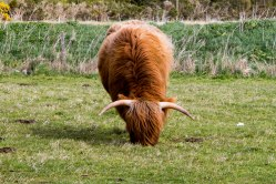 Una Highland Cow nei pressi del Visitor Center