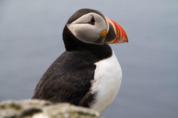 puffin scotland