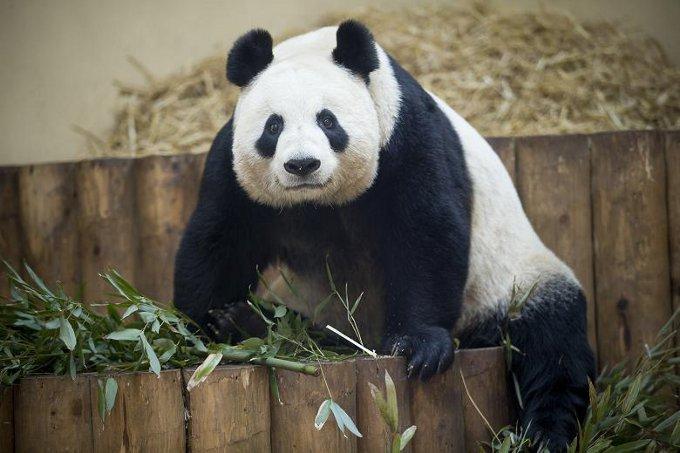panda-2528