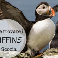 I migliori posti dove avvistare i Puffins in Scozia!