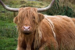 Highland_Cow_BeatriceRoat