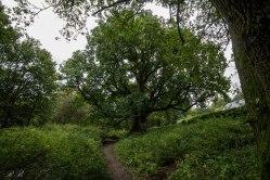 Uno dei grandi alberi che si incontrano lungo il sentiero