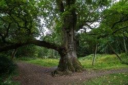 Birnam-Oak-BeatriceRoat