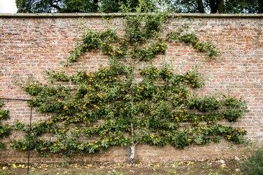 Un albero di mele aggrappato al muro di mattoni rossi